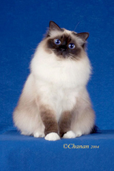 Exhibitor's Choice Best Birman In Premiership, Sacred Cat of Burma Fanciers annual show, 2004-05